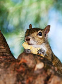 Grey Squirrel Closeup — Stock fotografie
