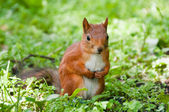 Small Squirrel — Stock Photo