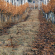 Winter Vineyard scene — Stock Photo