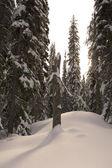 Vecchio ceppo di pino nella foresta invernale — Foto Stock
