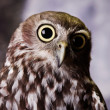 Gazing Owl — Stock Photo