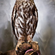 Perched Owl - Stock Photo