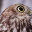 Distracted Owl — Stock Photo