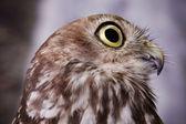 Distracted Owl — Stock Photo