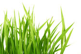 Grass on white background — Stock Photo