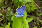 Butterfly Polyommatus icarus — Stock Photo