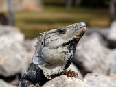 Iguana threatens — Stock Photo