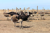 At ostrich farm — Stock Photo
