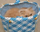 Persian cat hides in the bag — Stock Photo