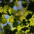 Sun beams and green leaves — Stock Photo #4881737