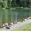 Line up Canadian goose — Stock Photo