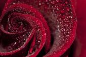 Rain on Rose — Stock Photo