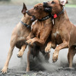 Three dogs running — Stock Photo