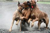 3 匹の犬を実行しています。 — ストック写真