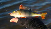 Winter fishing perch — Stock Photo