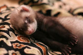 Little ferret — Stock Photo