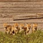 Five fox kits by old Saskatchewan granary — Stock Photo #4635730