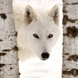 Arctic Wolf seen between two trees in winter - Stock Photo