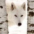 Arctic Wolf seen between two trees in winter — Stock Photo #4635794