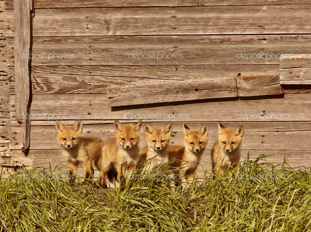 Five fox kits by old Saskatchewan granary — Stock Photo #4635730