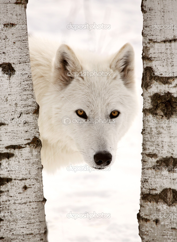 Arctic Wolf seen between two trees in winter  Stock Photo #4635794