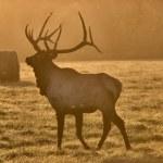 Sunset Elk Bull — Stock Photo #4685164