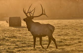 Sunset Elk Bull — Stock Photo