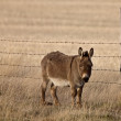 Mule in Pasture Canada — Stock Photo