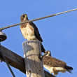 Redtailed Hawk on Post - Stok fotoğraf