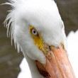 American Pelicans White Close up — Stock Photo