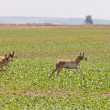Pronghorn Antelope Running — Stock Photo
