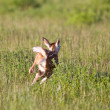 Young Fawn running in a field — Stock Photo