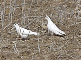 White Pigeon Dove — Stock Photo