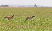 Pronghorn Antelope Running — Stock Photo