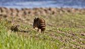 Racoon Walking on Farmland — Stock Photo