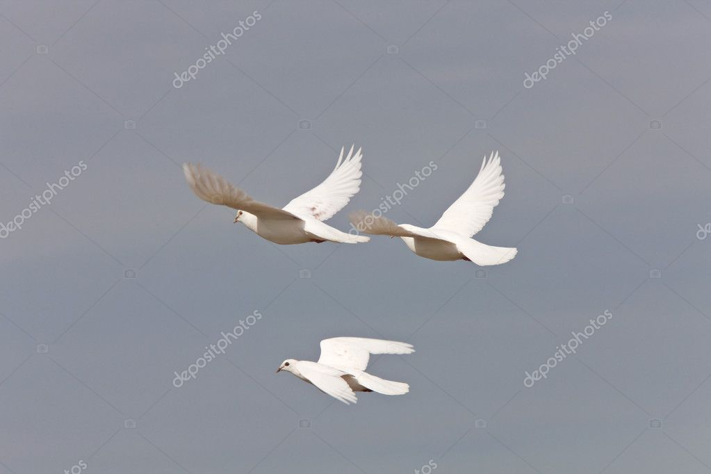 White Pigeon Dove Saskatchewan Canada in flight — Stock Photo #4721201