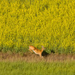 Deer running in canola mustard field — Stock Photo