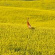 Deer running in canola mustard field — Stock Photo #4730717