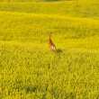 Deer running in canola mustard field — Stock Photo