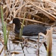 Waterhen coot in Canada — Stock Photo
