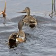 Blue Winged Teal in Pond — Stock Photo