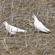 Stock Photo: White Pigeon Dove