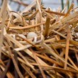 Coot Waterhen Nest and Eggs — Stock Photo