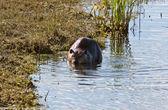 Canadian Beaver near shore on river — Stock Photo