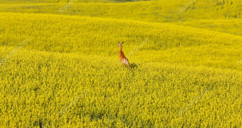 Deer running in canola mustard field Canada — Stock Photo #4730717
