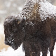 Bison Buffalo Wyoming Yellowstone — Stock Photo #4740099