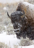 Yellowstone Park Wyoming Winter Snow — Stock Photo