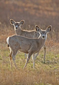 Mule Deer Saskatchewan — Stock Photo