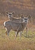 Mule Deer Saskatchewan — Stock Photo