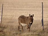 Mule in Pasture Canada — Stock Photo